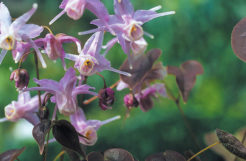 Horny Goat Weed Review: What is it?