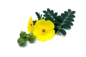 Tribulus terrestris flower, fruit, leaves